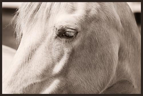 Bridlewood A White Stallion Sepia