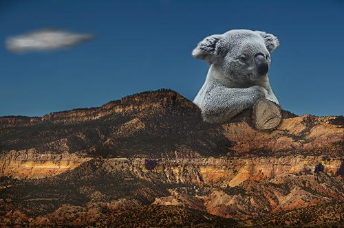 Mountain Koala II